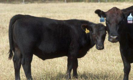 "CARNE ""NO OGM"": SENZA ETICHETTE VOLONTARIE A RISCHIO I CONSUMATORI"